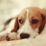 Tapeworm in dogs – symptoms and treatment