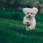 Is Kombucha harmful for dogs?