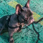 3 Common French Bulldog Health Problems That Every Owner Needs to Know.